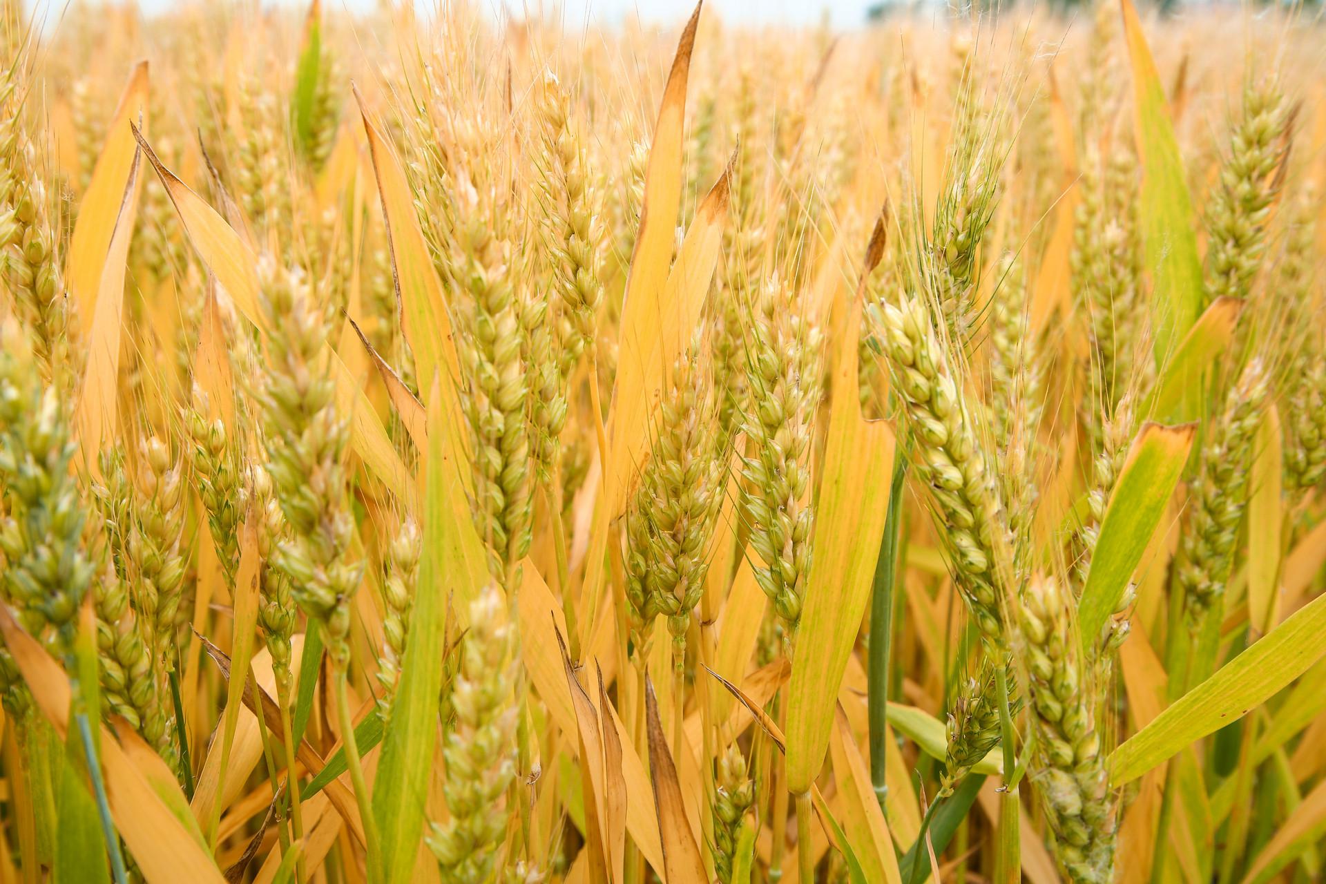 小麦草酵素增强人体活力